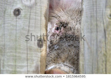 Sad Little Boar Stock photo © cthoman