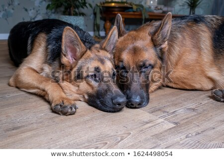 cute black and brown shepard dog sleeping and lying Stock photo © feedough