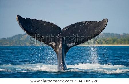 balina · kuyruk · okyanus · örnek · su · gülümseme - stok fotoğraf © colematt