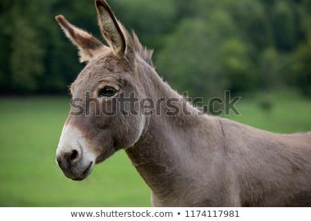 Portret grijs ezel gezicht natuur boerderij Stockfoto © Photooiasson