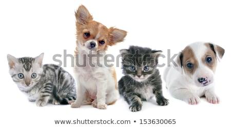 Сток-фото: котенка · щенков · кошки · серебро · играет