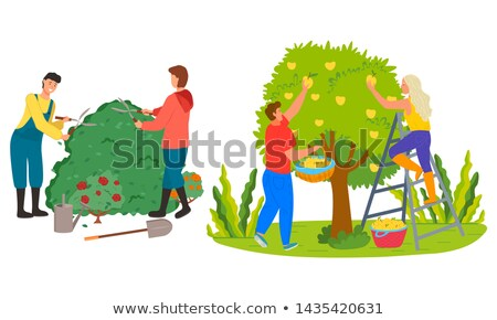 Farmers Harvesting in Garden Roses Trimming Vector Stock photo © robuart