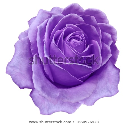 ярко красивой Purple закрывается бутон изолированный Сток-фото © evgeny89