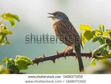dunnock prunella modularis stock photo © chris2766
