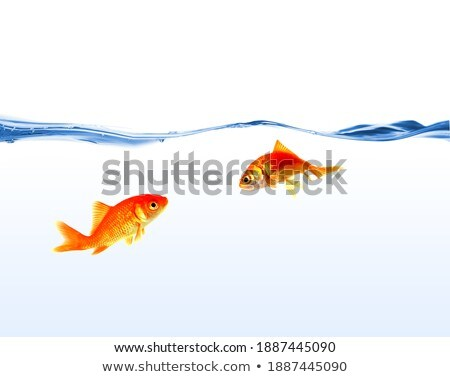tow gold fishs on water isolated Stock photo © shutswis