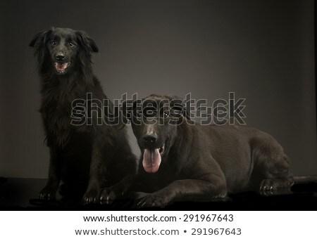 Gemengd ras zwarte honden ontspannen donkere Stockfoto © vauvau