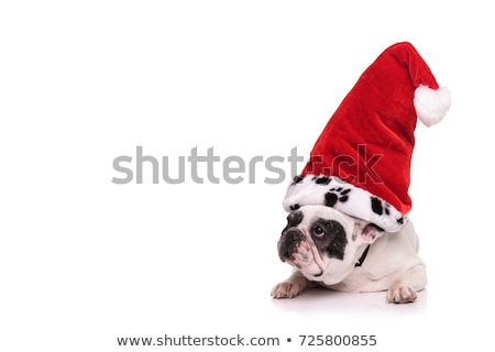 curious black french bulldog lying looks to side Stock photo © feedough