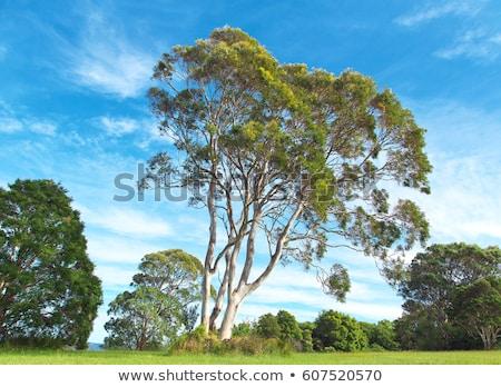 Eucalyptus Trees Stock photo © Spectral