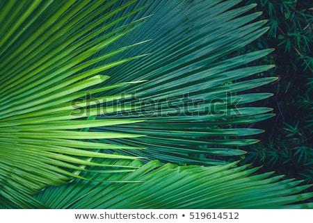 close up texture of palm leaf stock photo © nejron