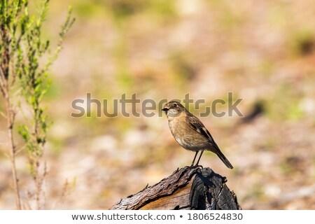 Ilustração fundo laranja pássaro vermelho animal Foto stock © bluering