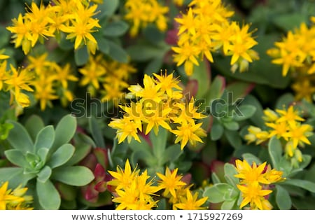 yellow sedum Stock photo © hlehnerer