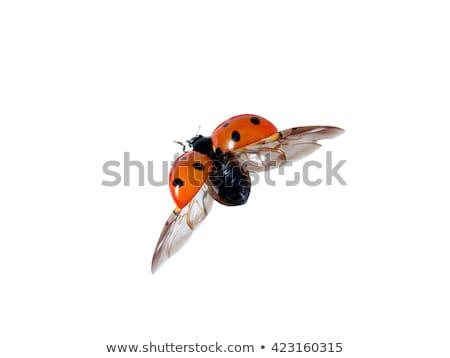 Repülés katicabogár színes rajz illusztráció vektor Stock fotó © derocz