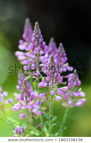 coastal pink wildflowers Stock photo © morrbyte