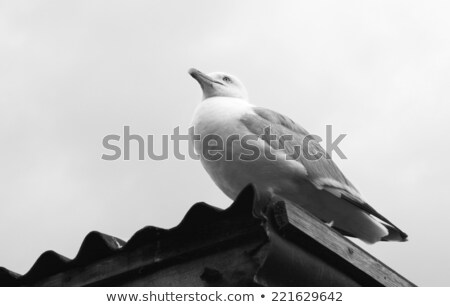 gull sitting on a corrugated iron roof stock photo © sarahdoow