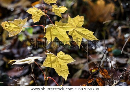 sprout off a little new maple tree stock photo © klinker