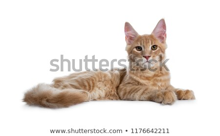 Zoete witte Maine kat kitten vergadering Stockfoto © CatchyImages