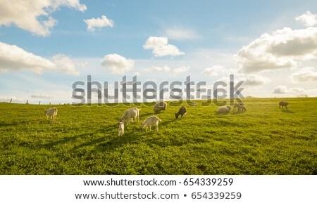 子供 · 小さな · ヤギ · 草 · 食べ · 動物 - ストックフォト © rhamm