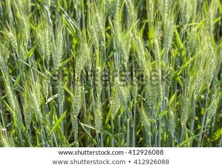 orgânico · milho · plântula · seis · dia · velho - foto stock © meinzahn
