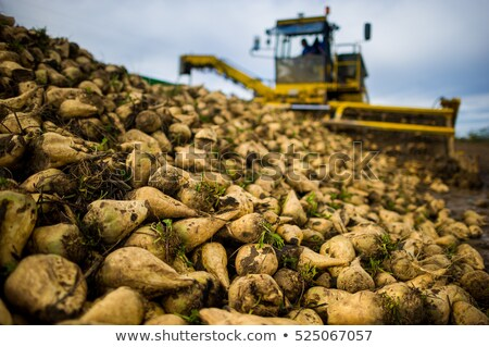 Pile of sugar beets on a farm Stock photo © meinzahn