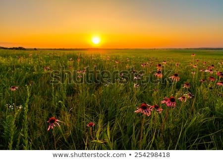 Fioletowy preria kwiaty saskatchewan Kanada Zdjęcia stock © pictureguy