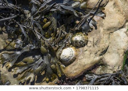 mussles and barnacles stock photo © trgowanlock