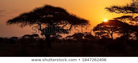 закат · дерево · африканских · парка · Кения · солнце - Сток-фото © kjpargeter