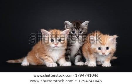 Row of 5 Maine Coon cat kittens on black Stock photo © CatchyImages