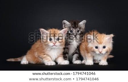 Maine · gato · gatinhos · preto · cinco - foto stock © CatchyImages