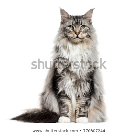 maine coon cat Stock photo © compuinfoto
