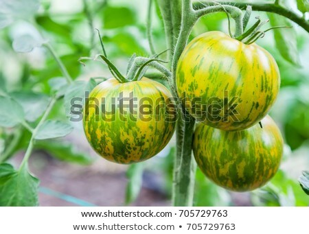 tomatoes on a green branch stock photo © all32