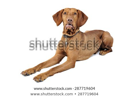 Hungarian vizsla waching in white background stock photo © vauvau