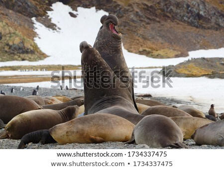 Two seals on snowy day Stock photo © colematt