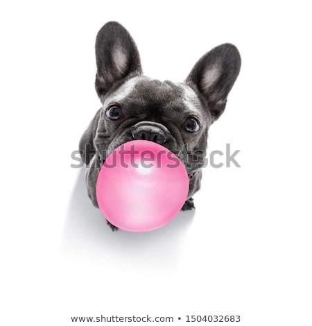 Zdjęcia stock: Dog Chewing Bubble Gum
