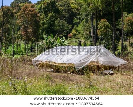 çiftçi geleneksel tütün çadır dokunmak kuru Stok fotoğraf © simazoran