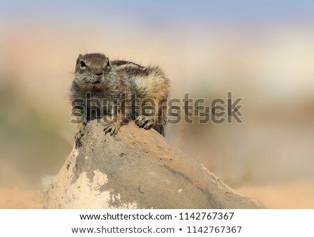 Barbary ground squirrel Stock photo © chris2766