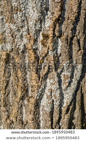 Brown Clefty Bark Detail Photo stock © PRILL