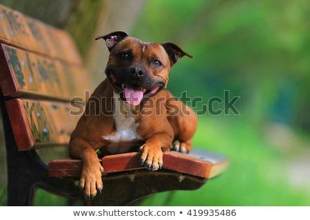 Staffordshire Bull Terrier dog Stock photo © CaptureLight