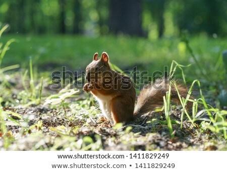 squirrel land stock photo © arenacreative