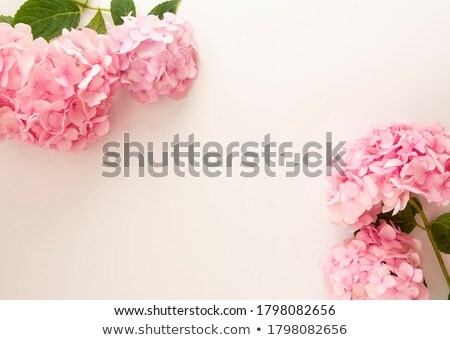 Pink Hydrangea Blooming Stock photo © mroz
