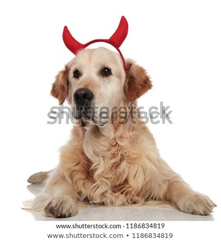 Adorable diablo golden retriever mentiras lado Foto stock © feedough