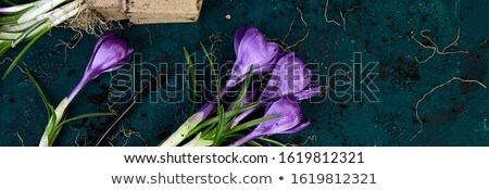 Banner of Gardening tools, peat pots, crocus flower. spring Stock photo © Illia