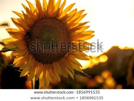 Orange fleur jaune noir nature jardin été Photo stock © Marcogovel