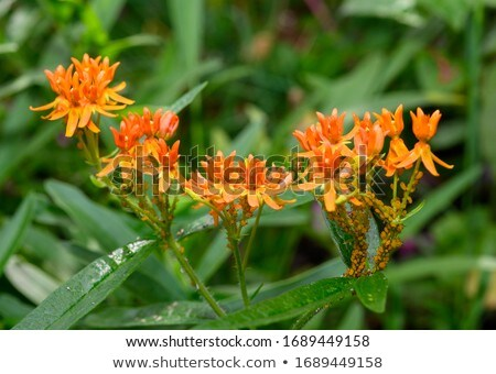 Orange Milkweed Aphids Stock photo © brm1949