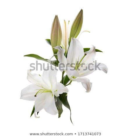 Lillies Stock photo © gsermek