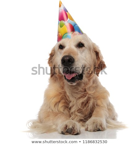 excited birthday golden retriever looks to side while lying stock photo © feedough