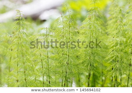wood horsetail equisetum sylvaticum stock photo © rbiedermann