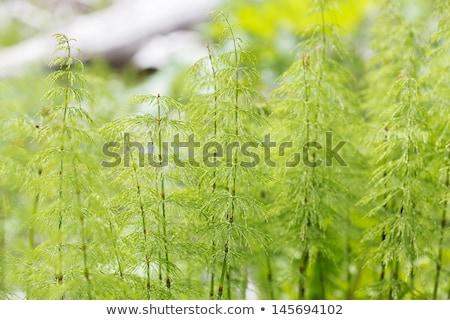 Wood horsetail (Equisetum sylvaticum) Stock photo © rbiedermann