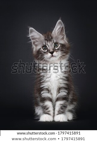 sitting maine coon kitten stock photo © prill