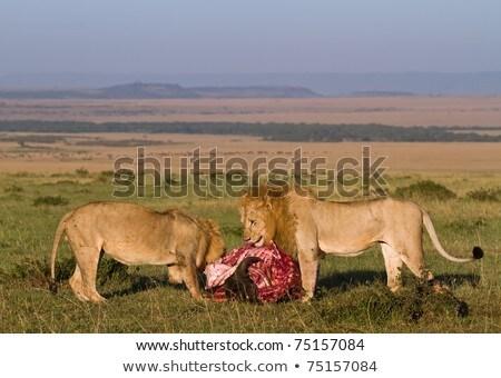 ライオン 小さな 男性 サイ 食品 ストックフォト © bradleyvdw