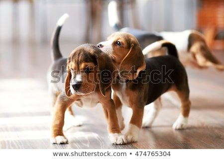 Tricolor beagle puppy playing Stock photo © remik44992